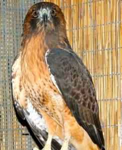 Artemis, Redtailed Hawk