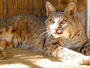 Bobby, Bobcat