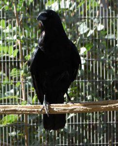 Darwin, Imprinted Crow