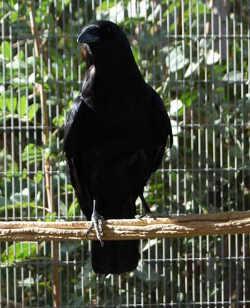 Darwin, Imprinted Crow
