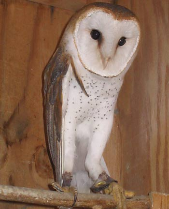 Freeway, Barn Owl