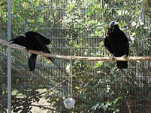 Luna & Darwin, Imprinted Crows