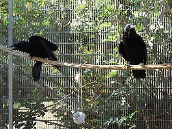 Luna & Darwin, Imprinted Crows