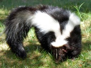Rosebud, Skunk