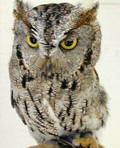 Screech, Screech Owl